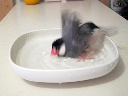 文鳥ルッカ水浴び